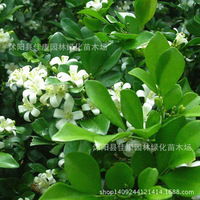 Authentic Jiulixiang tree bonsai plant pepper plant stone Scholar nine nine Pungent incense tree bonsai over Yamaga 200g / Pack