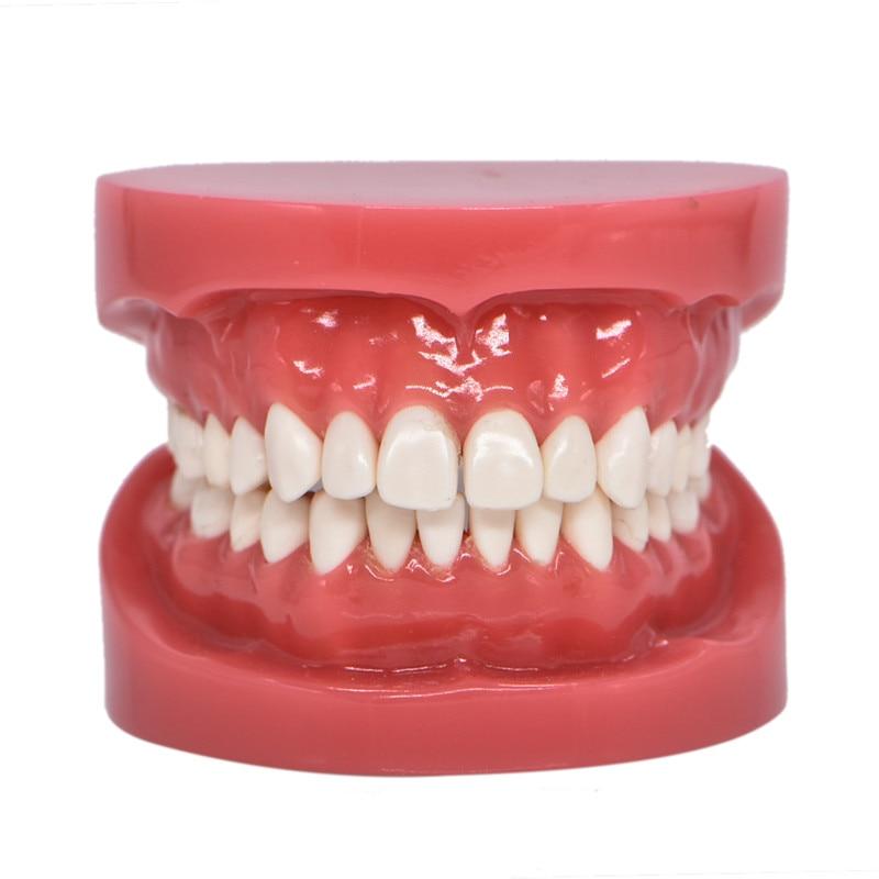 Dentition Model Upper Lower Jaw Model Red Dentist Hard Foundation Teaching Model Dental Adult Standard Typodont Demonstration