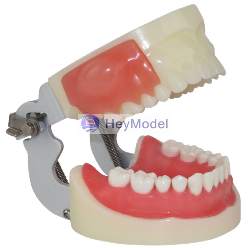 HeyModel Oral practice exam abscess incision and dental preparation Model the pure abscess