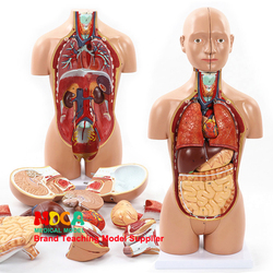 45 см демонтаж 16 частей человеческого тела ствол анатомия модель печень кишки желудка медицинского обучения MQG103