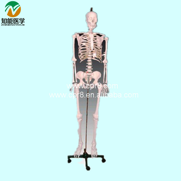 Human Skeleton Model   BIX-A1002 W054 bix a1005 human skeleton model with heart and vessels model 85cm wbw394