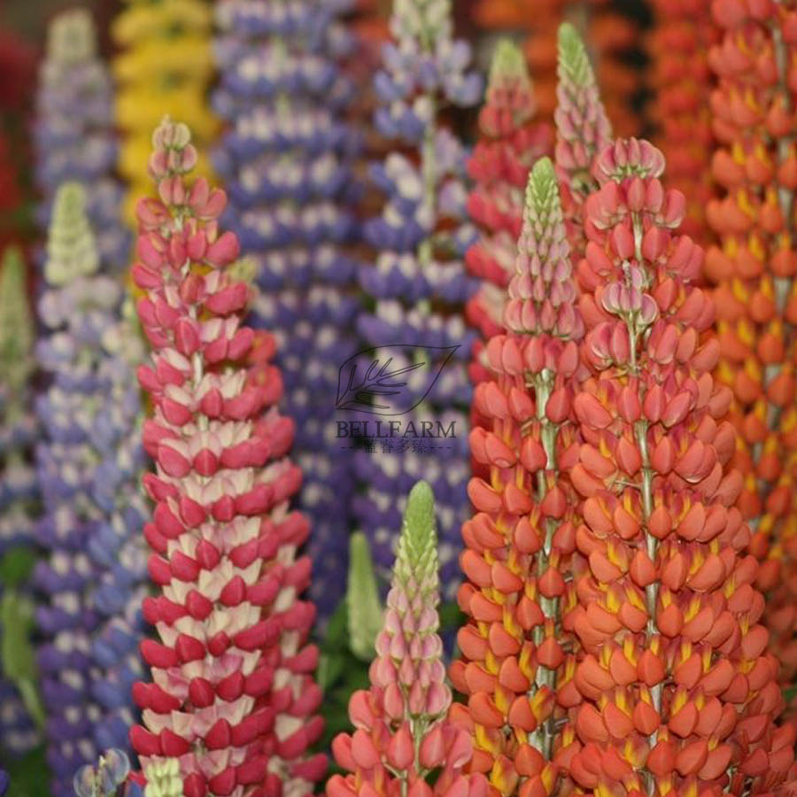 Bellfarm Rare Lupinus 20 Types Of Lupine Flowers Red Orange Yellow