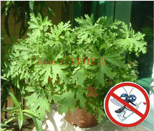 100 pcs riddex plant seeds Mosquito Repelling Grass  Mozzie Buster Sweetgrass. Garden & Home Bonsai Plant. Indoor Plant