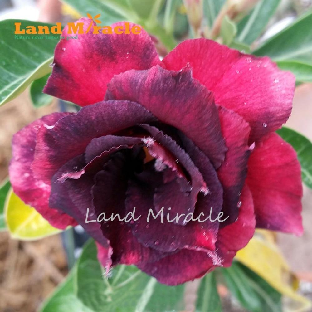 1pcs Black Red Adenium Desert Rose Seeds Double 4 Layer Petals