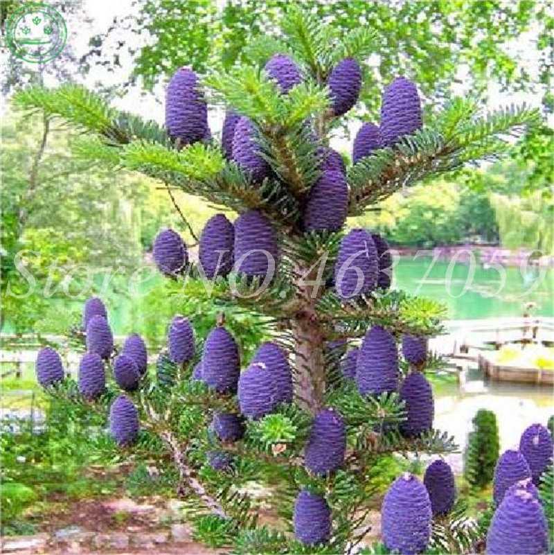 Распродажа! 50 шт/партия японские пихтовые плантации Abies бонсай Листва дерева растения для сада Горшечное растение холодное сопротивление свежий воздух