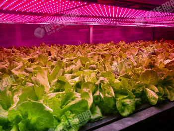 90 Watt Hohe Penetration LED Wachsen Lichter Mit Objektiv Für Gewächshaus Pflanzenzüchter
