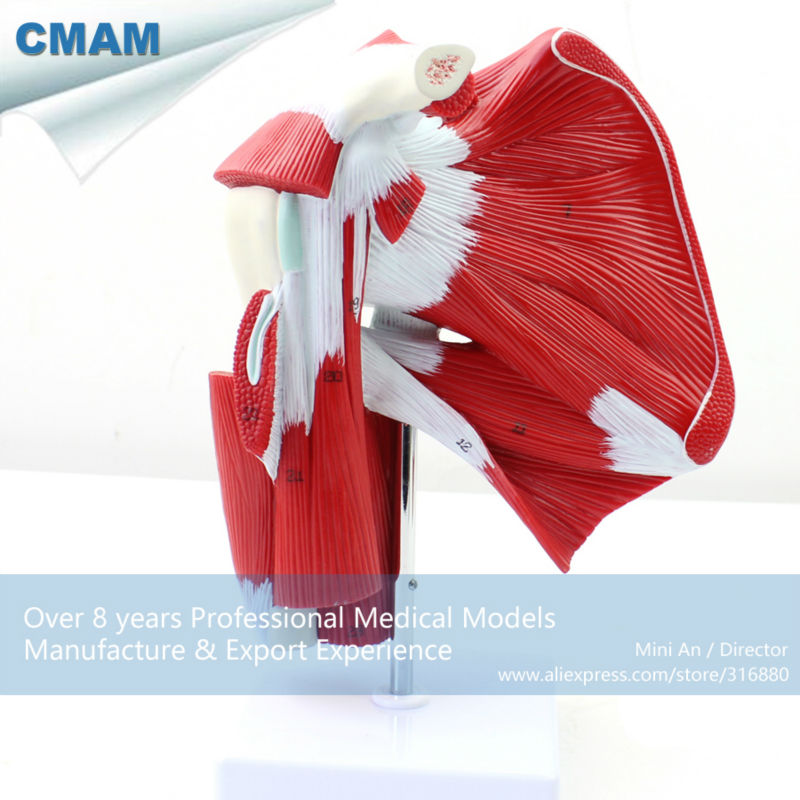 12037 CMAM-MUSCLE13 Life Size Human Shoulder Joint Muscle Tendon Model for Fitness Guidance