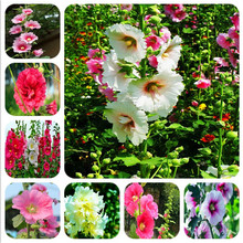 Big Sale!100pcs Magnificent 100% true bonsai Japanese bonsai potted hollyhock plants DIY home garden Althaea rosea free shipping(China)