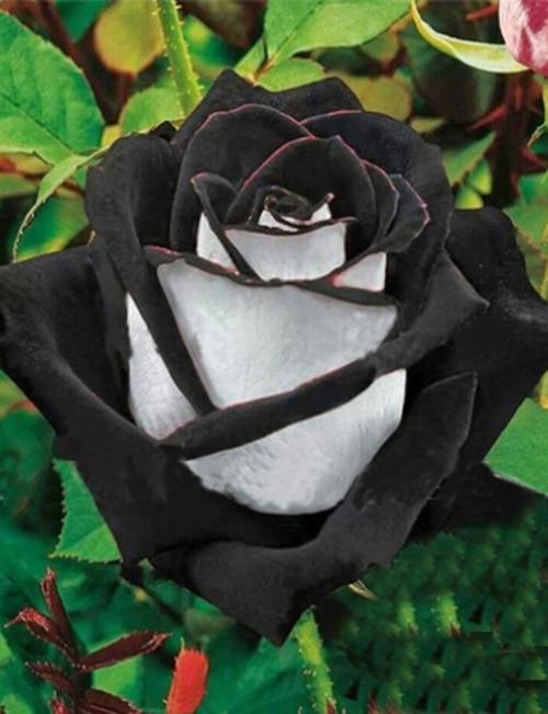120PCS Rare White Black Edge Rose Seeds Plants Potted Rose Flower Seeds Balcony for Home Garden
