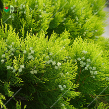 лучшая цена 50pcs Cypress trees Platycladus orientalis oriental arborvitae seeds Conifer seeds DIY home garden flowers seeds