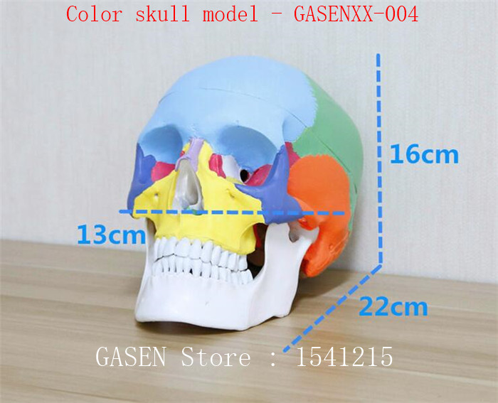 1:1 medical simulation skull human body Skull anatomy specimen Skull base model Color skull model - GASENXX-004