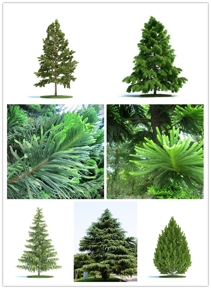 Hot Sale 50pcs Rare Moreton Bay Pine Tree  Easy To Grow Araucaria Cunninghamii Tree Home Garden