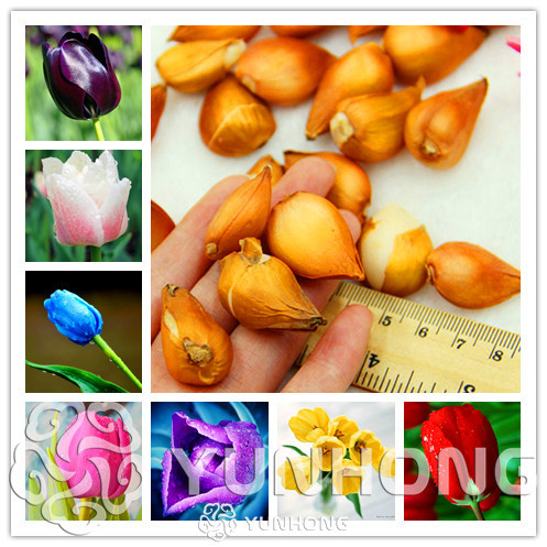 2 pcs /Lot Rare Tulip Bulbs  Available Tulips Variety Fresh Bulbous Root Flowers High-Grade Flower Bonsai