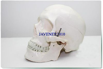 Life Size Human Anatomical Anatomy Head Skeleton Skull Medical Model