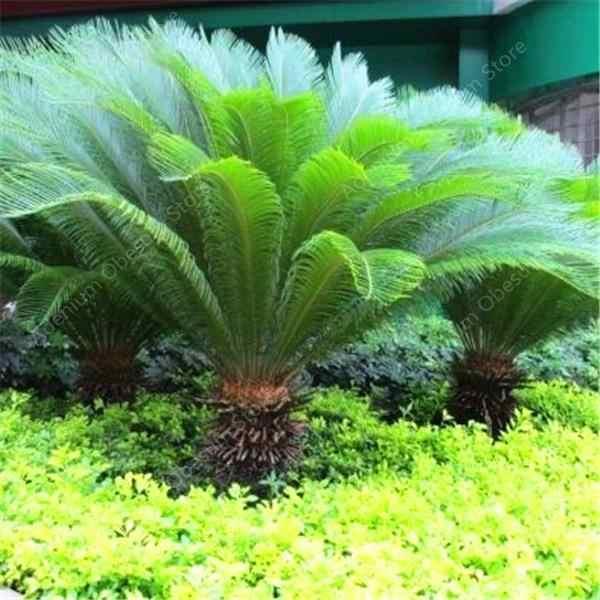 ! 10 Buah/Tas Biru Cycas Pohon Bonsai, Sago Palm Tree, Sikas Bonsai, langka Pot Tanaman untuk Taman Keluarga Gratis Pengiriman