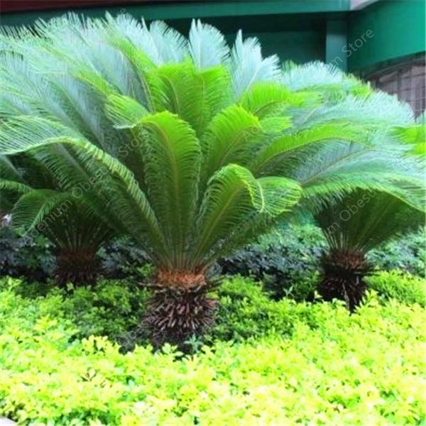Sale! 10 Pieces/bag Blue Cycas Bonsai, Sago Palm Tree Plant, Cycad Bonsai,  Rare Potted Plants For Family Garden Free Shipping