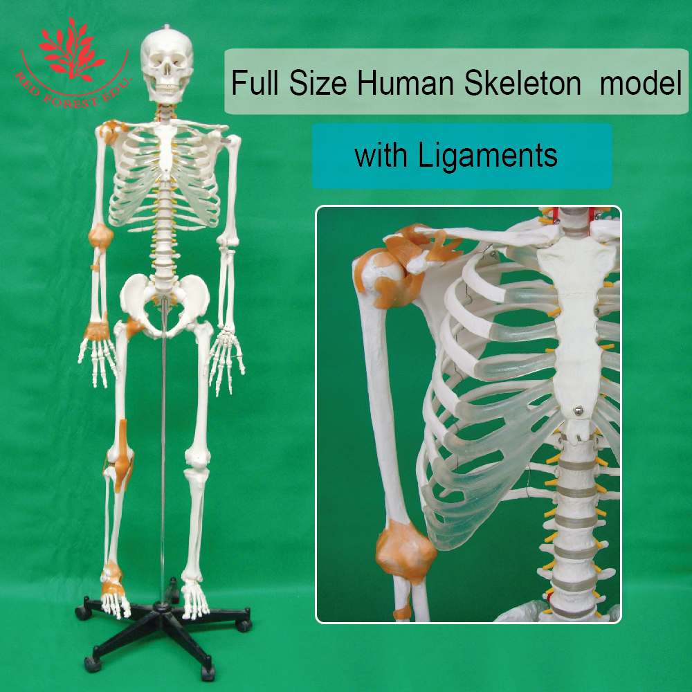 Medical education 180cm high plastic human skeleton with the joints ligaments iso high quality human skeleton model life size medical 180cm human skeleton