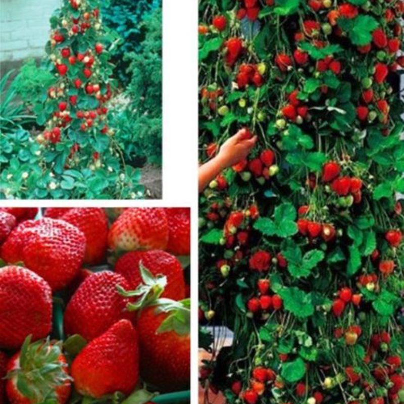 1000pcs/bag Strawberry bonsai plant red giant Climbing Strawberry Fruit Plant bonsai for Home Garden planting