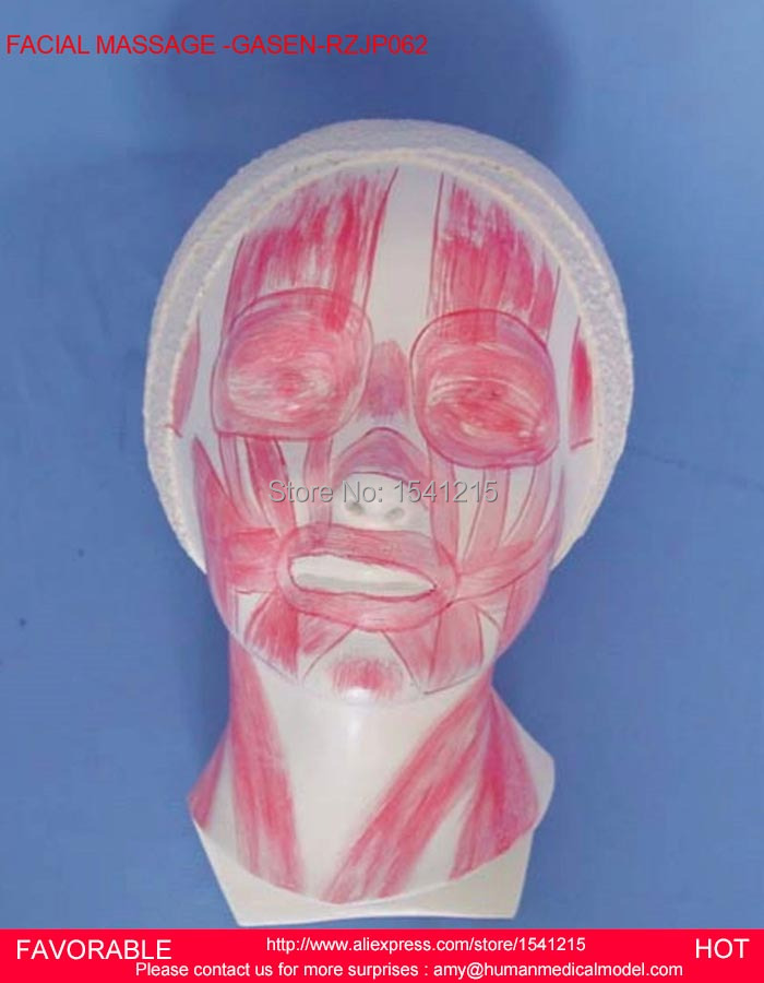 HUMAN SKULL WITH MUSCLE NERVE VESSEL ANATOMICAL MODEL, RIGHT HEAD AND NECK MODEL MEDICAL SCIENCE TEACHING SUPPLIES GASEN-RZJP062 2 part anatomical healthy human uterus and ovary model female medical anatomy teaching supplies