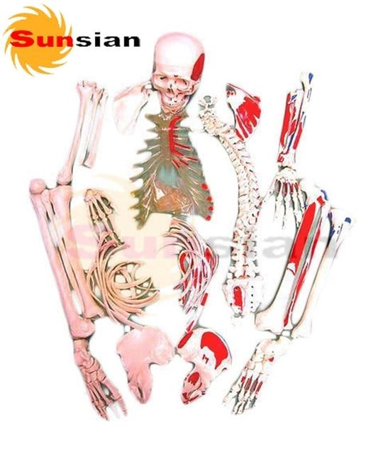 Skelett, unmontiert (knochen sammlung) mit markierungen in Skelett ...