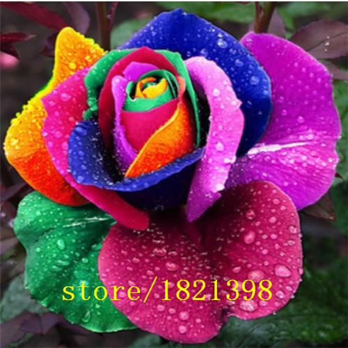 GGG 100 Seeds/pack Rare Holland Rainbow Rose Seeds Flower Home Garden rare rainbow rose flower seeds Free shipping