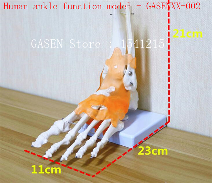 Ankle joint Skeleton model Ligament teaching medical model Body section model Human ankl ...