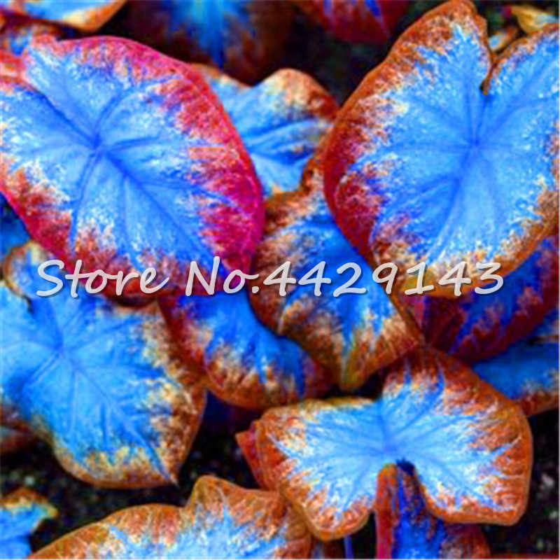 100 Pcs נדיר צבעוני Caladium בונסאי צמח שרוף עלה פיל אוזן יפה בונסאי הפרח בעציץ עבור בית תפאורה גן