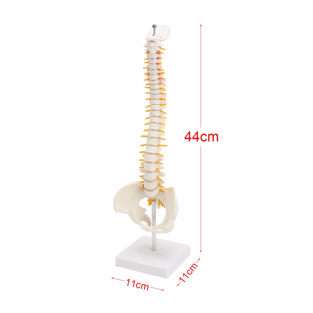 Brand new 44CM Human Spine with Pelvic Model Human Anatomical Anatomy Spine Medical Model spinal column model+Stand Fexible life size vertebral column spine with pelvis model bix a1009 w051