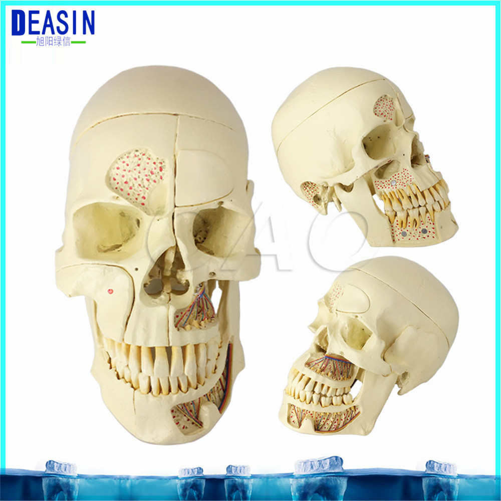 2018 Skull model extraoral model dental tooth teeth dentist anatomical anatomy model odontologia soarday children primary teeth alternating transparent model dental root clearly displayed dentist patient communication