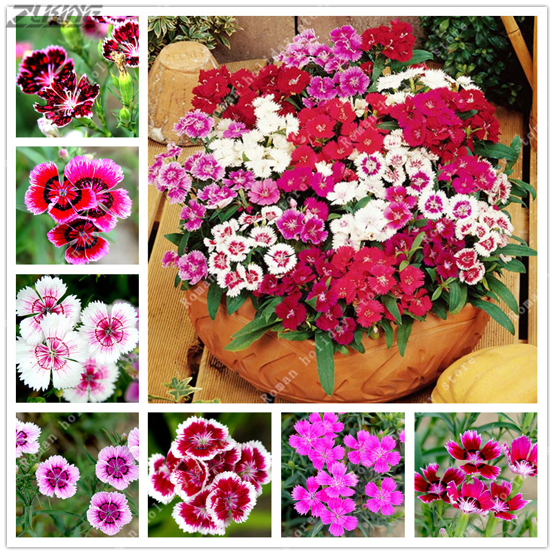 Zlking 100pcs colorful dianthus flower perennial carnations of rare zlking 100pcs colorful dianthus flower perennial carnations of rare flowers outside sweet william bonsai flower on aliexpress alibaba group mightylinksfo
