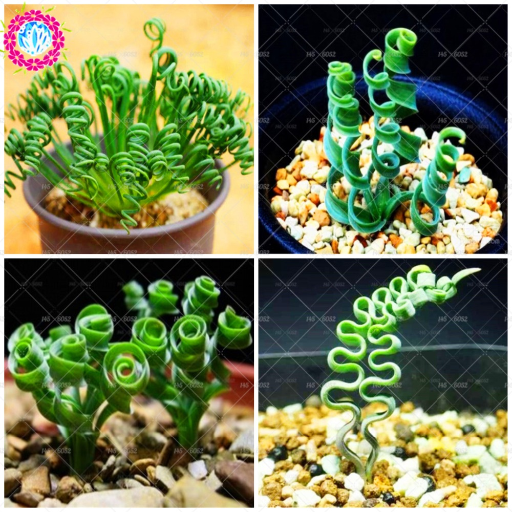 100pcs Albuca namaquensis seeds Spring grass seeds Rare succulent plants Bonsai flower seeds for home garden pot novel plant