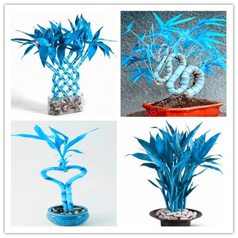 Big Promotion ! 50 Pcs Fresh Indoor Lucky Blue Bamboo Bonsai House Good Luck Bamboo Pot  Potted Plant For Home Garden