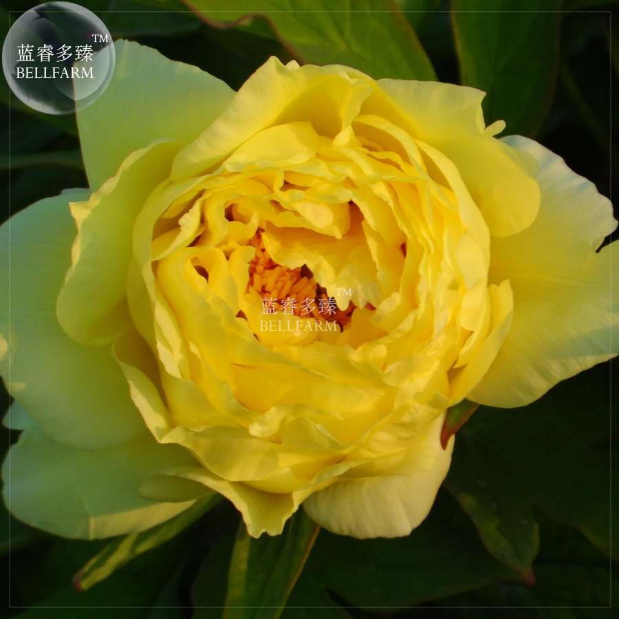 Bellfarm Bonsai Huangji Yellow Big Peony Flowers 5pcspack