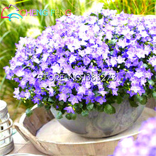 100pcs/bag Rare Campanula Seeds Campanula Chile Rosea Flower Pots Bellflower Evergreen Plant For Home Garden 2016 Hot Bonsai(China)