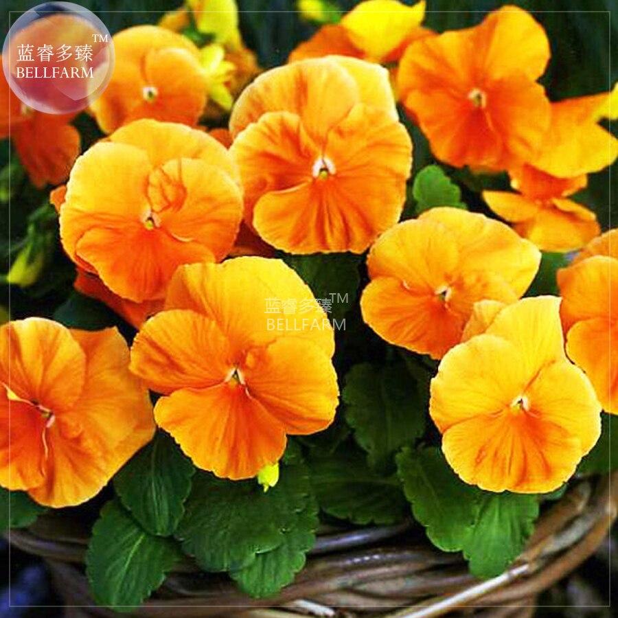 Bellfarm Pansy Orange Perenial Flower Seeds 30 Seeds Professional