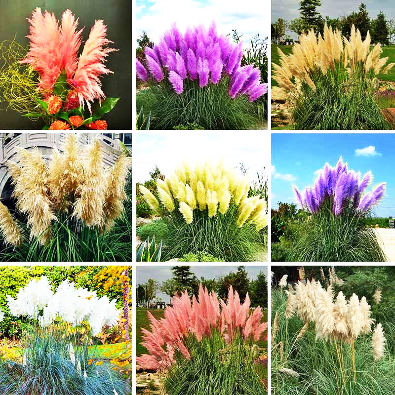 500 Pieces Lot Mix Color Pampas Gr Seeds New Rare Mini Garden Plant Outdoor Flowers Cortaderia Oana Watch Bonsai In From Home