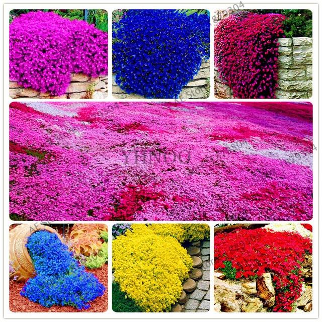 200 Stucke Felsen Kresse Bonsai Perennia Blume Pflanze Creeping