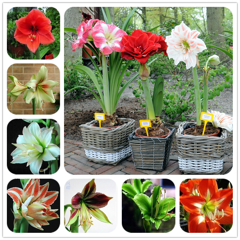 2016 Hippeastrum bulbs bonsai amaryllis seeds barbados lily DIY home garden lily potted seed bonsai balcony flower 100 pcs/bag