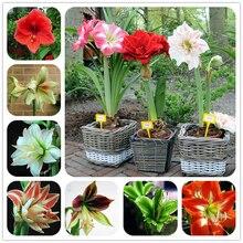 2016 Hippeastrum bulbs bonsai amaryllis seeds barbados lily DIY home garden lily potted seed bonsai balcony flower 100pcs/bag