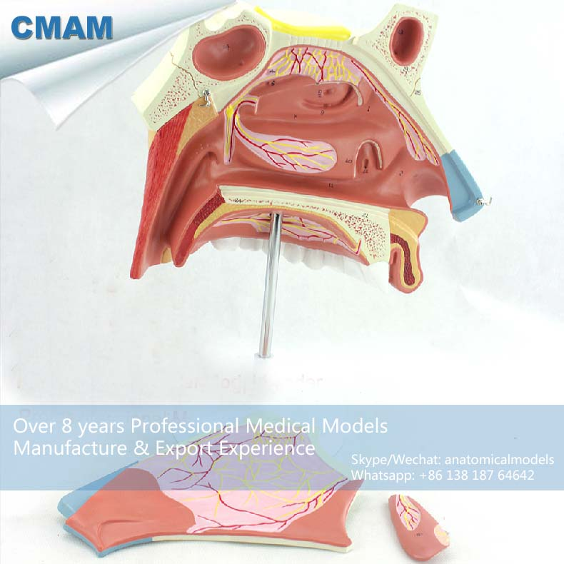 12513 CMAM-THROAT07 Section Anatomy Human Nasal Cavity Model in 3 Parts, Medical Science Educational Teaching Anatomical Models