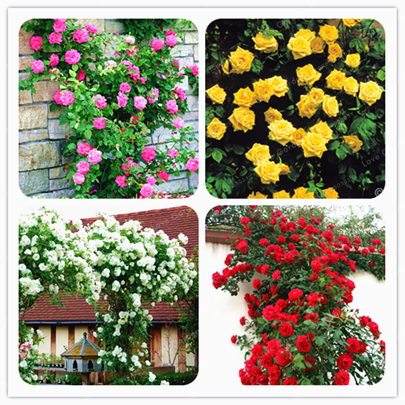 Rare climbing rose seeds perennial flowers garden for Climbing flowering plants for fences