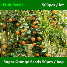 Sweet Sugar Orange Seeds 500pcs 1000pcs