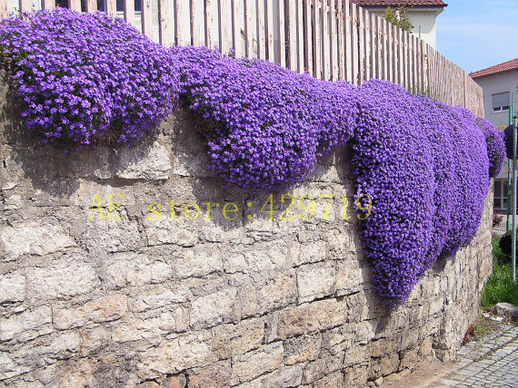 100 pcs Rock Cress, Aubrieta Cascade PERENNIAL FLOWERING GROUNDCOVER flower seeds for flower pot planters wift like gift