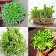 100pcs / bag chicory seeds,  healthy organic vegetable salad chicory seeds. Chicory enhances the immunity of the human body