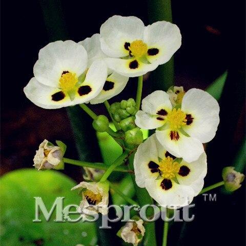 Random Sent 100PCS Mixed Hydrocleys Nymphoides seeds/Hydroponic flowers Hydrocleys nymphoides seeds bonsai seeds Aquatic plants