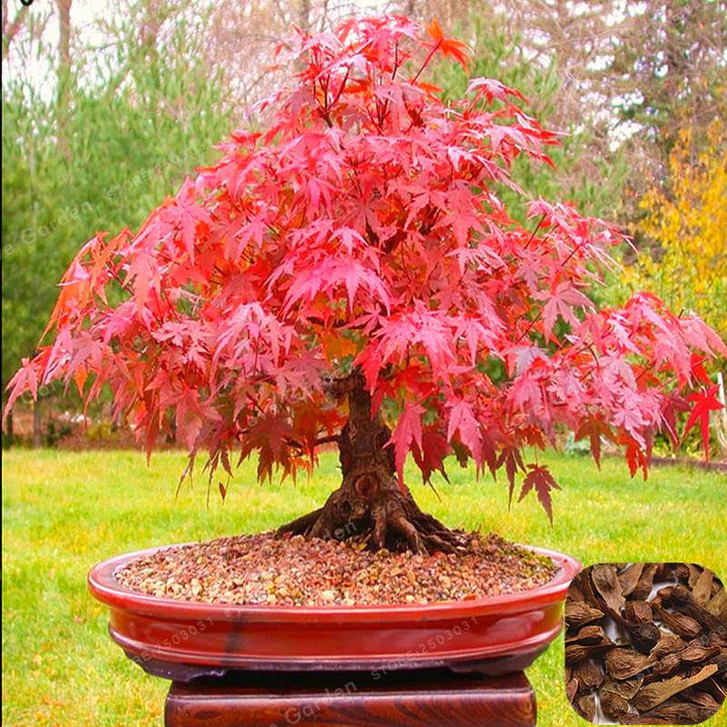 20 Bonsai/Pack Acer Palmatum Atropurpureum Bonsai Real Japanese Red Ghost Maple Tree Bonsai For Garden Planting All Season