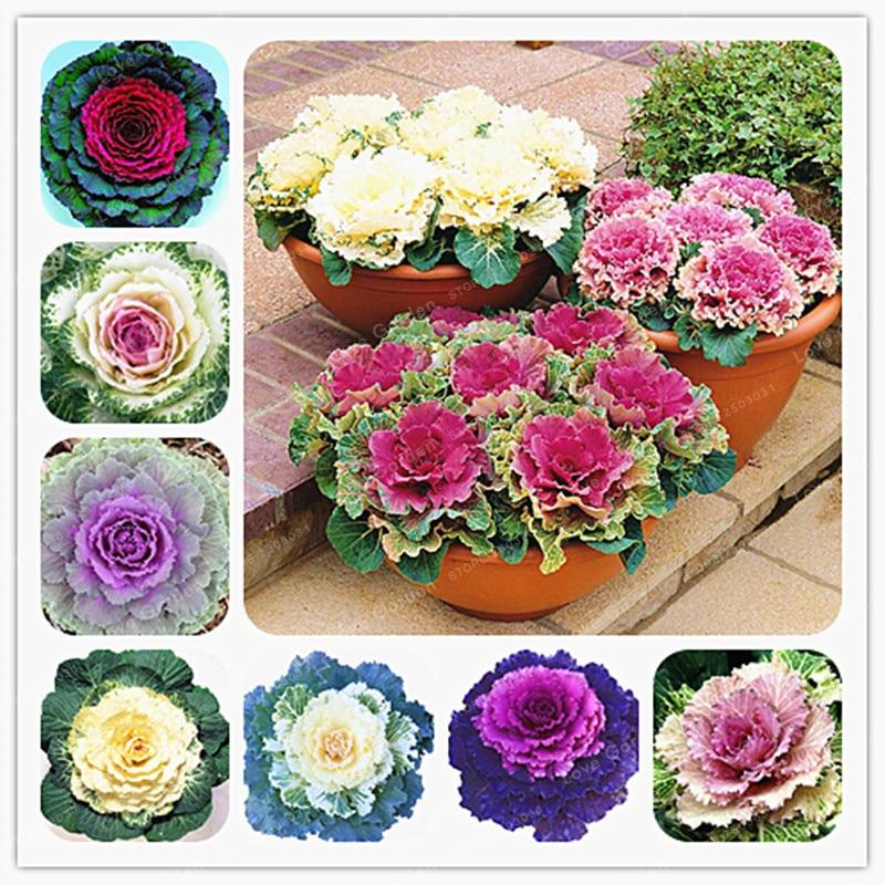 Planting Kale In Pots: Flowering Ornamental Cabbage Seeds Plant Flowering Kale In