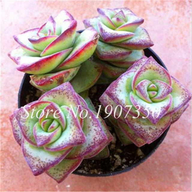 Exotic Bonsai Mini Cactus Indoor Succulent Flower Bonsai Mini-Bonsai Bonsai Pentagram Cactus Plant For Home & Grden 50 Pcs