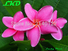 7-15inch Rooted Plumeria Plant Thailand Rare Real Frangipani Plants no319-sexypink1-1