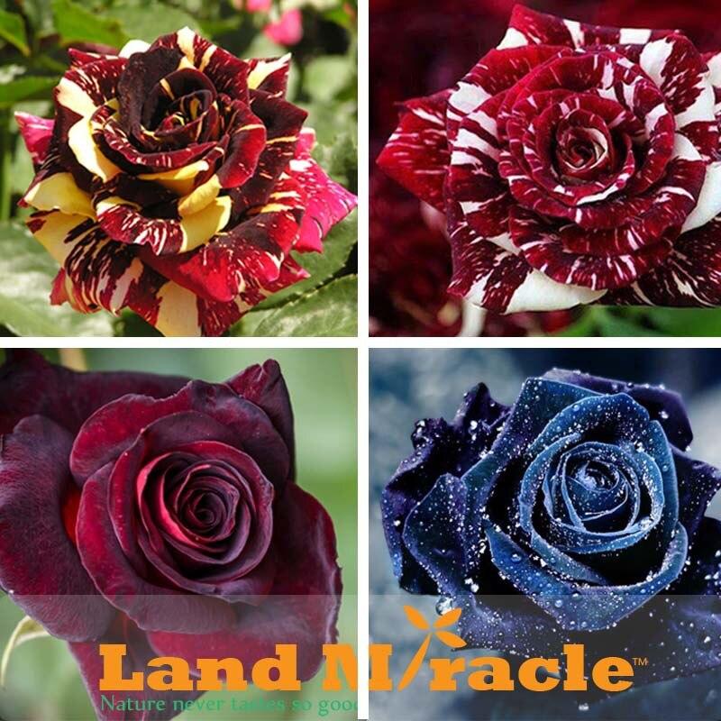 noir arbustes-achetez des lots à petit prix noir arbustes en